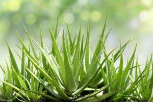 Some Benefits Of Aloe Vera Plant